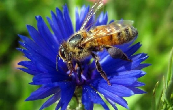 Пчела на васильке