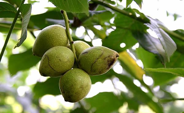 Манчужский орех - главный компонент препарата