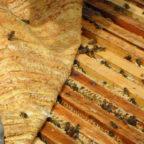 Пчелы под тканевым пологом